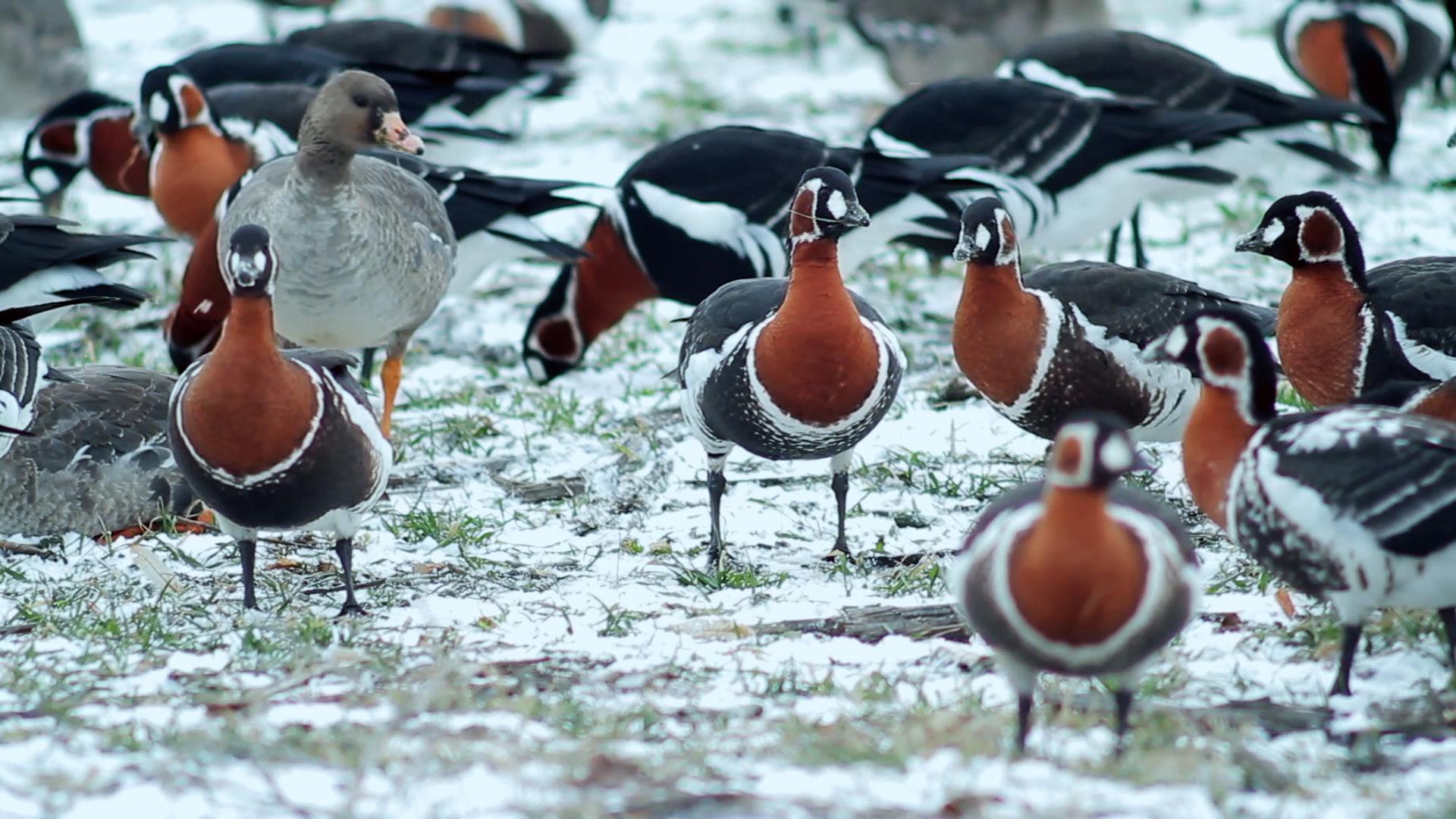 Те отлитат – Червеногуши гъски