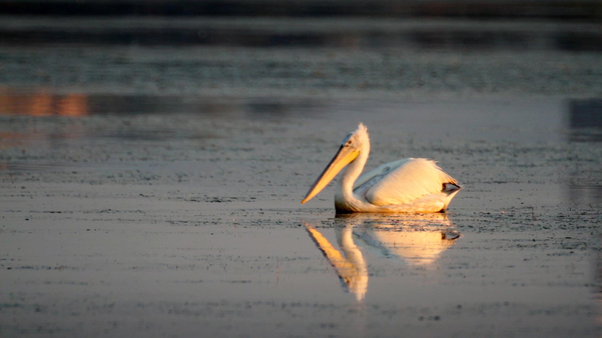 Те отлитат – Къдроглав пеликан
