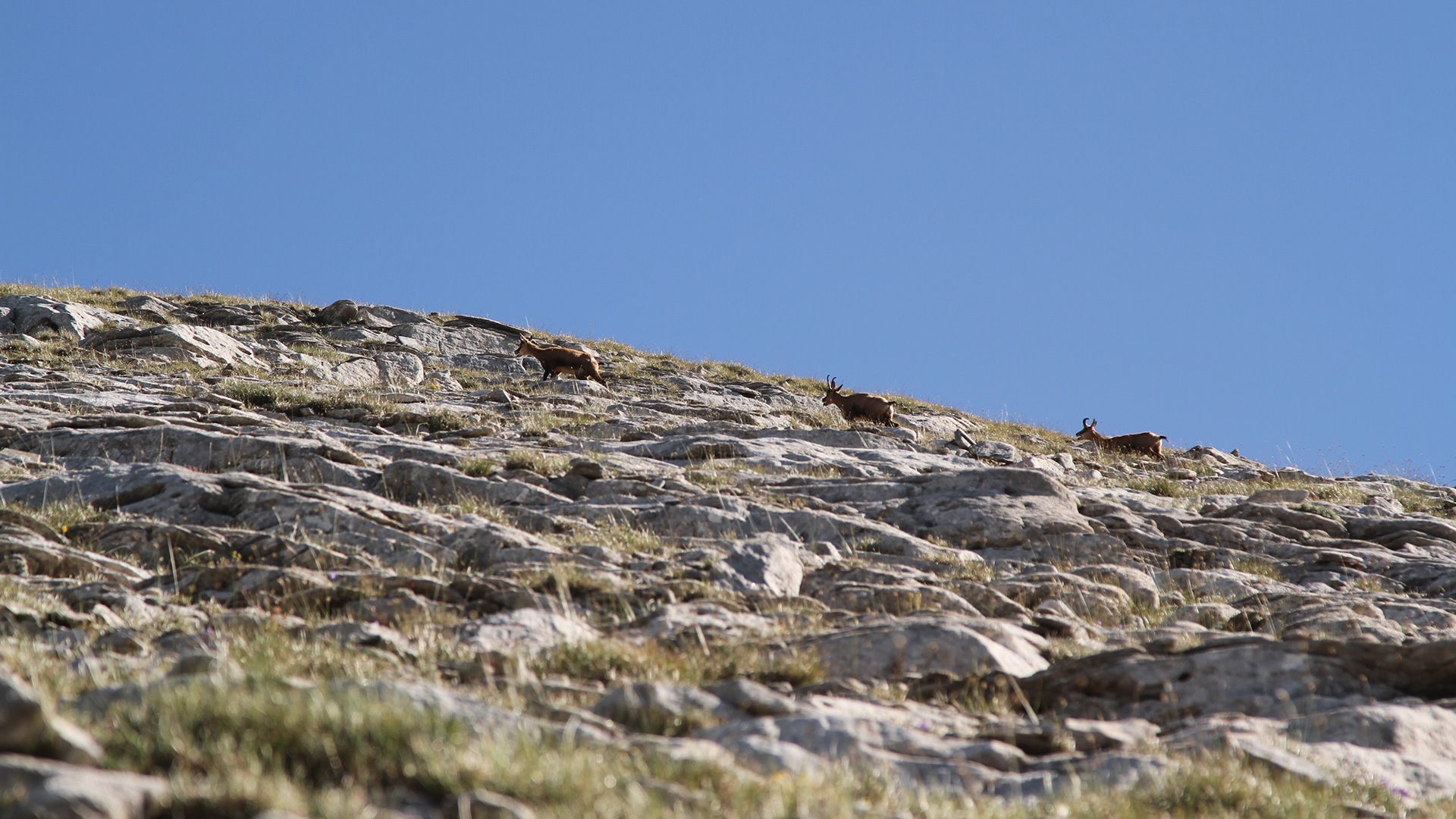 За Пирин – Диви кози