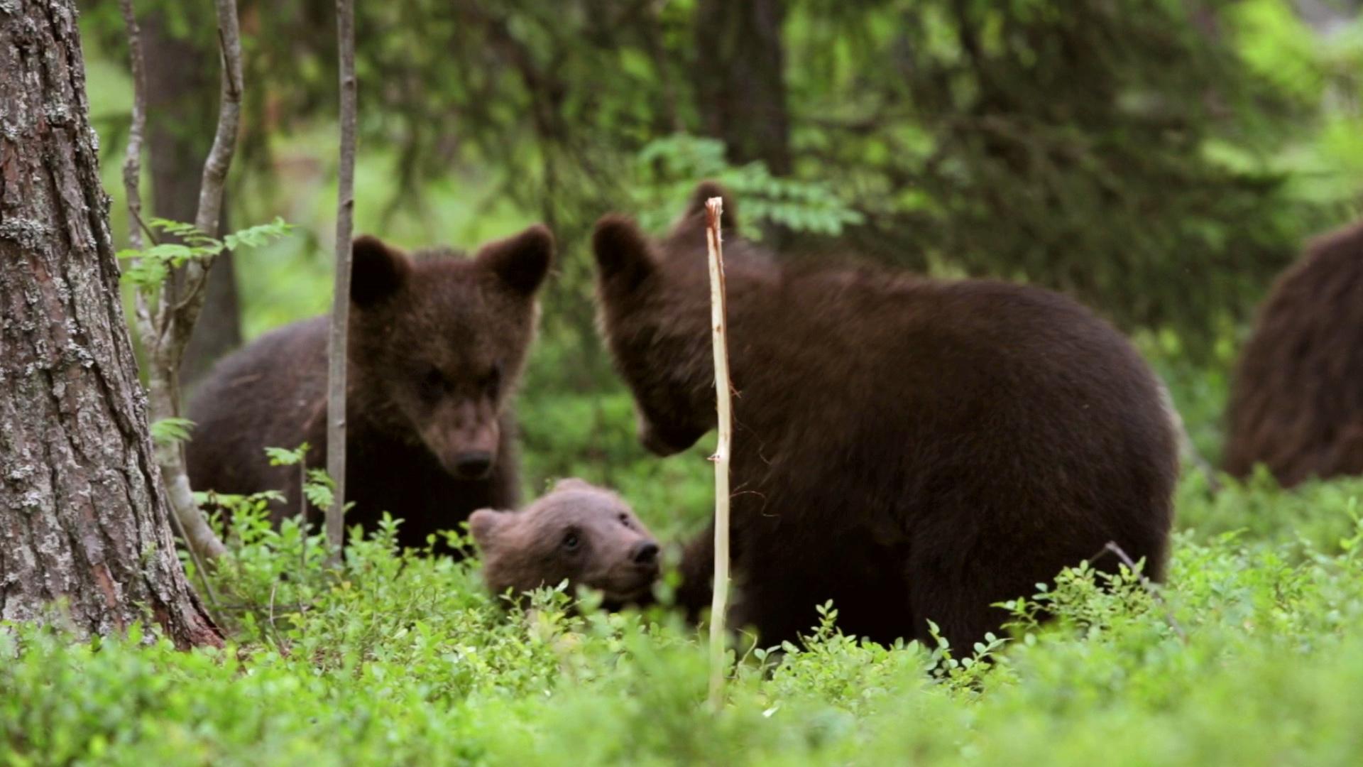 Заедно #ЗаПирин – Кафяви мечки