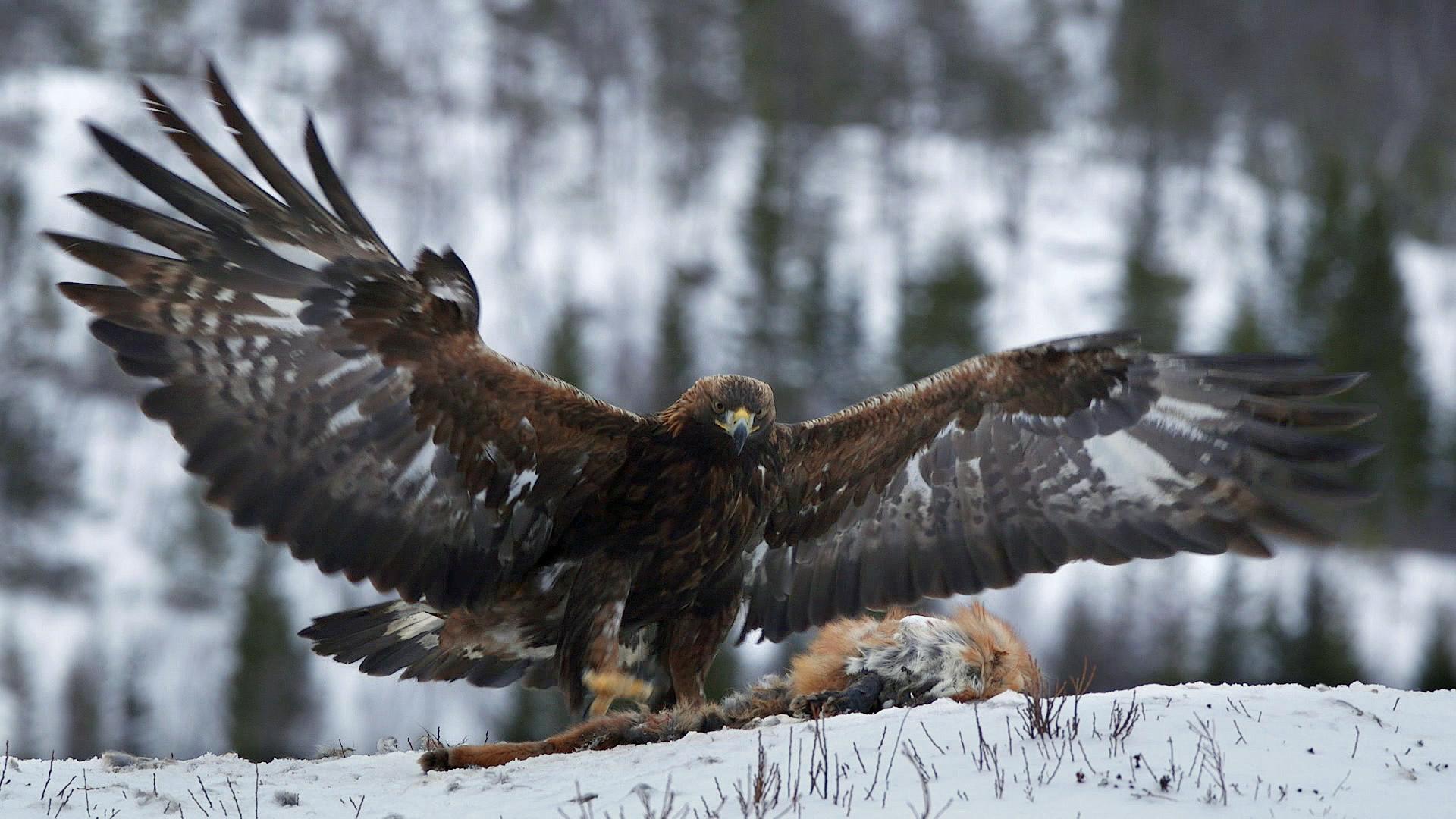 Заедно #ЗаПирин – Скален орел