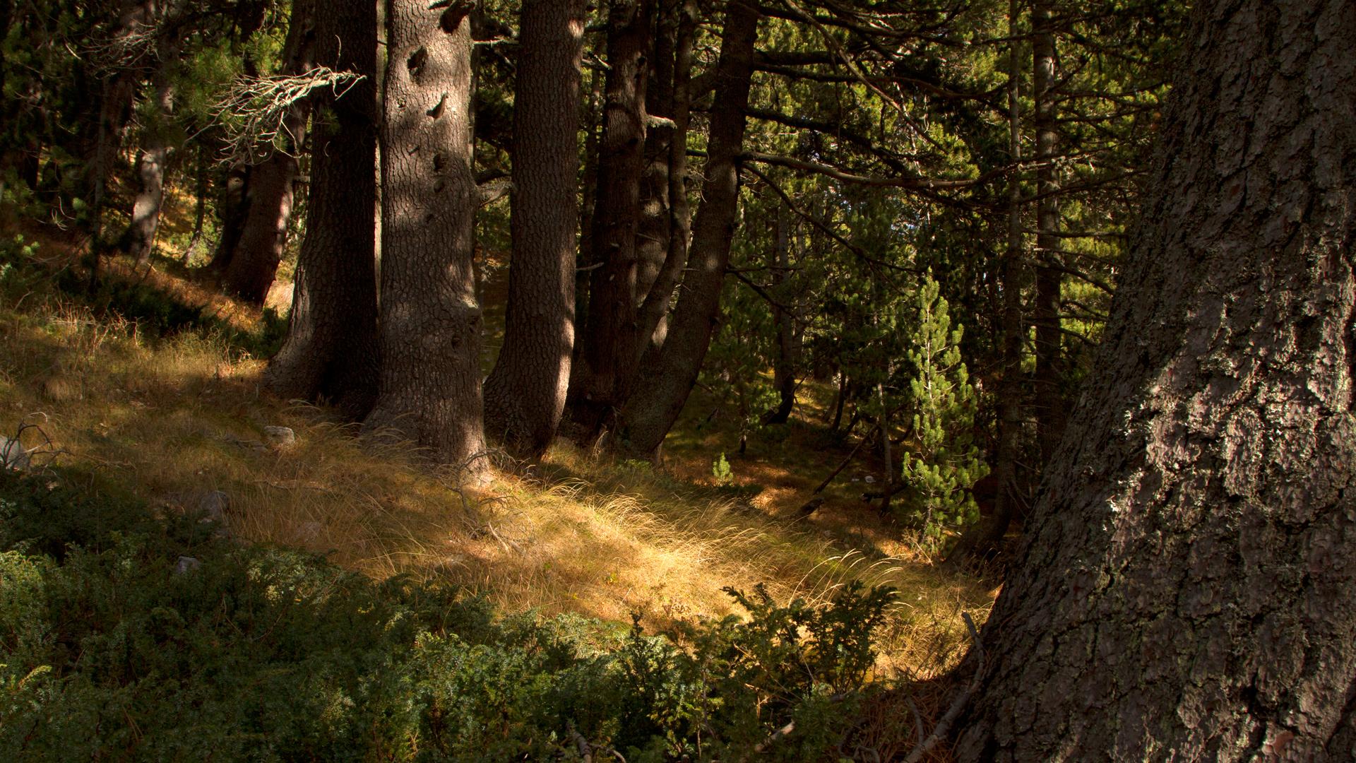 Заедно #ЗаПирин – Вековна гора от черна мура